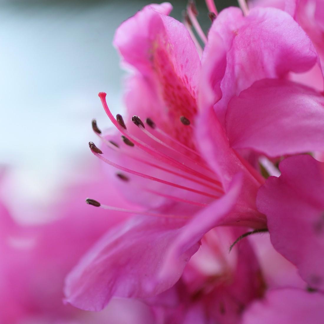 Print achter glas Pink Flower 20x20cm, Pro Art
